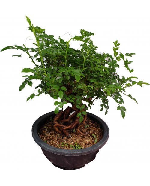 Bonsai rosa canina