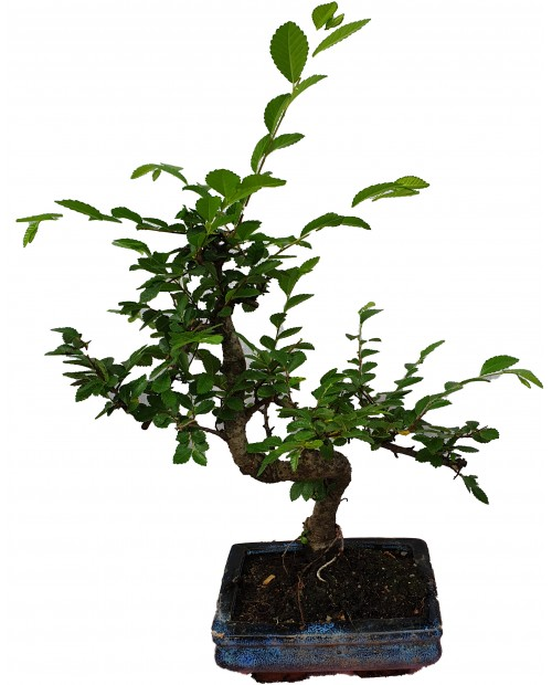 Bonsai di zelkova