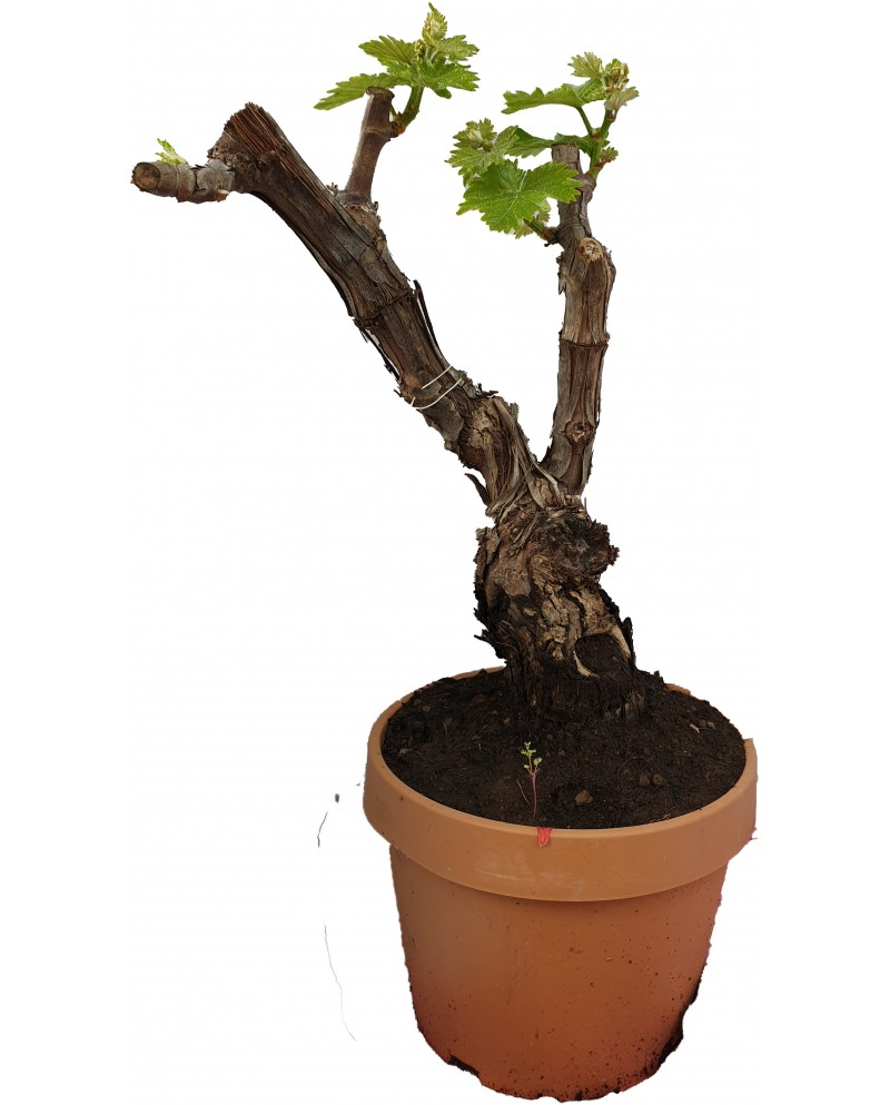 Bonsai di vite